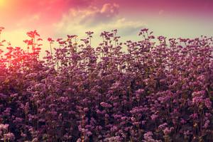 Vintage beautiful buckwheat field against the sunset sky