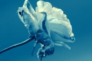 Vintage blue rose