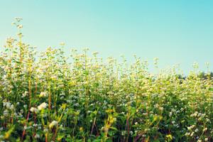 Vintage buckwheat field against blue sky