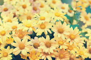 Vintage chrysanthemum flowers