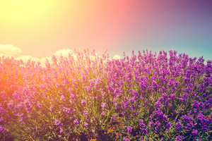Vintage colored lavender field