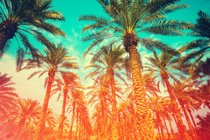 Vintage date palm trees plantation. Gradient colored