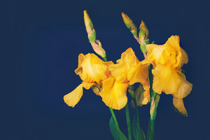 Vintage iris flowers