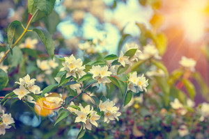 Vintage jasmine bush at sunset. Selective focus