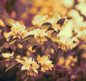 Vintage jasmine flowers blossoming on bush