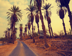Vintage landscape with date palm trees in Ein Gedi Reserve in Israel