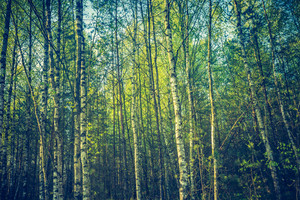 Vintage photo of birch forest in summer. Close up of forest
