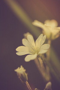 Vintage photo of white chickweed flowers in close up. Beautiful old fashioned flower macro
