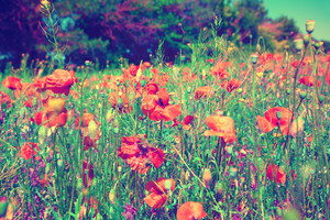Vintage poppies field