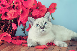 Vintage portrait of cat with poppies flowers