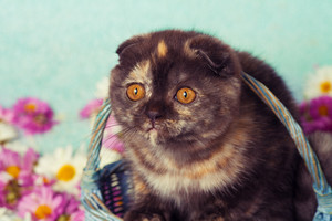 Vintage portrait of cute scottish fold kitten in a basket