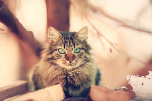 Vintage portrait of cute siberian cat outdoors