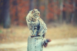 Vintage portrait of Siberian cat sitting on concrete column outdoors against forest background