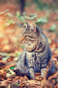 Vintage portrait of siberian cat sitting on the fallen leaves in autumn