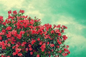 Vintage rhododendron blossoming bush against sky