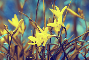 Vintage wild lily flowers