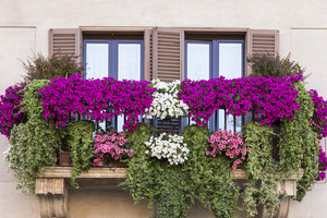 Violet floral pot on balcony Rome. Italy