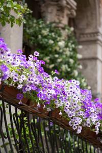 Violet floral pot on balcony Venice. Italy