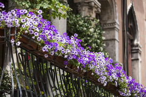 Violet floral pot on balcony Venice. Italy