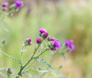 Violet thistle flowers close up on green background.--