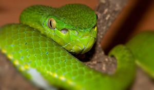Viper Portrait