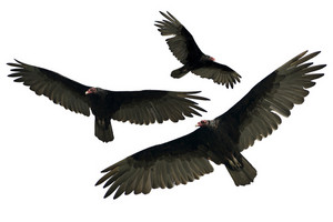 Vulture Bird Flying