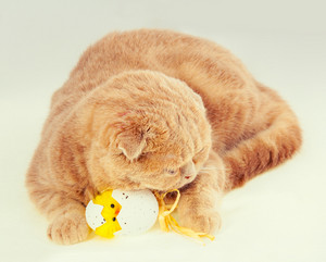 Portrait of cat sleeping on easter egg with toy chicken