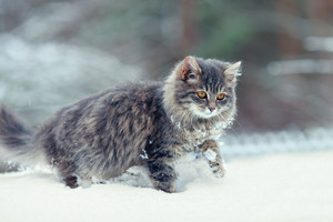 Siberian cat walking in deep snow