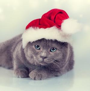 Blue british kitten wearing Santa hat