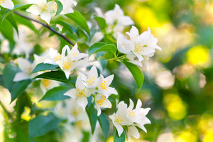 Blossoming jasmine bush