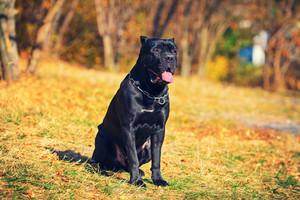 Portrait of Cane Corso Italiano dog in the park