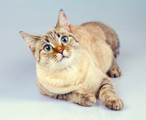 Cute dreaming thai cat