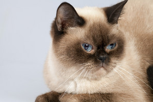 Portrait of siamese cat,