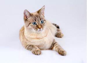 Portrait of cute thai cat