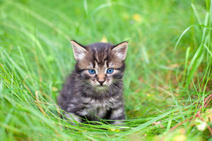 Little kitten walking in the grass