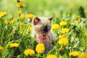 Little kitten wearing bow tie in the dandelion flowers