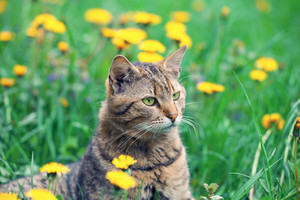 Cat on dandelion meadow