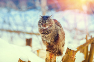 Siberian cat sitting on a wooden post in winter