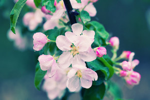Blossoming apple branch