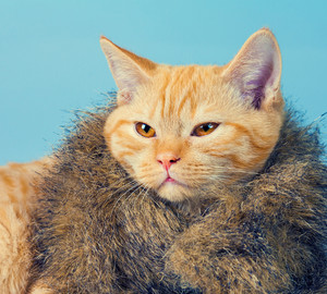 Portrait of cute cat wearing fur coat