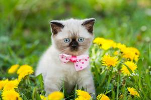 Cute kitten wearing bow tie walking in the dandelion lawn
