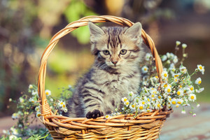 Little kitten sitting  in the basket with flowers in the garden