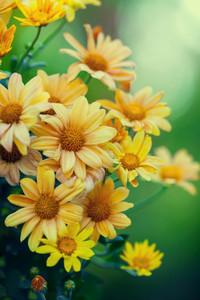 Vintage chrysanthemum flowers