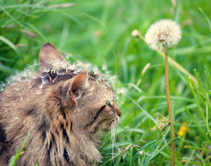 Cute siberian cat with dandelion seeds on the head walking on the grass