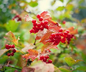 Wet viburnum berries