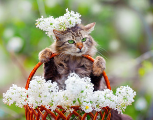 Cute cat sitting in a basket with white lilac flowers
