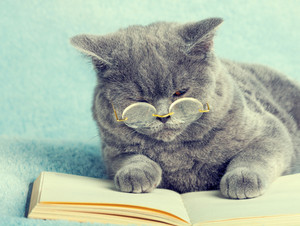 A blue british cat is wearing glasses lying on the book
