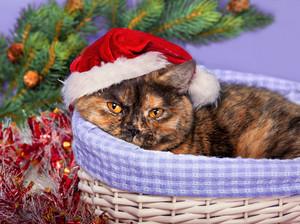 Cat wearing a Santa hat sits in a basket