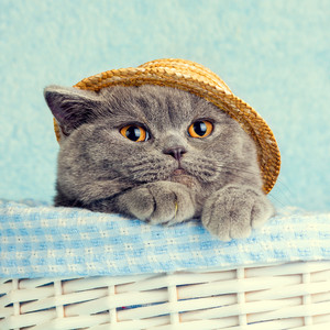 Portrait of Blue British cat wearing straw hat
