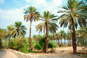 Date palm plantation near Dead Sea in Ein Gedi